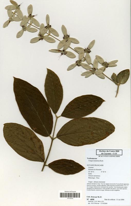 Herbier-planche-Congea-tomentosa-MF Prevost