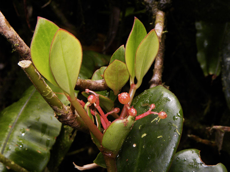 La famille du café – Rubiaceae