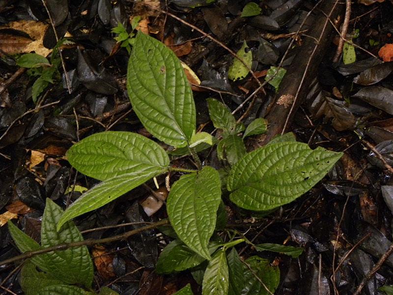 La famille du poivre – Piperaceae