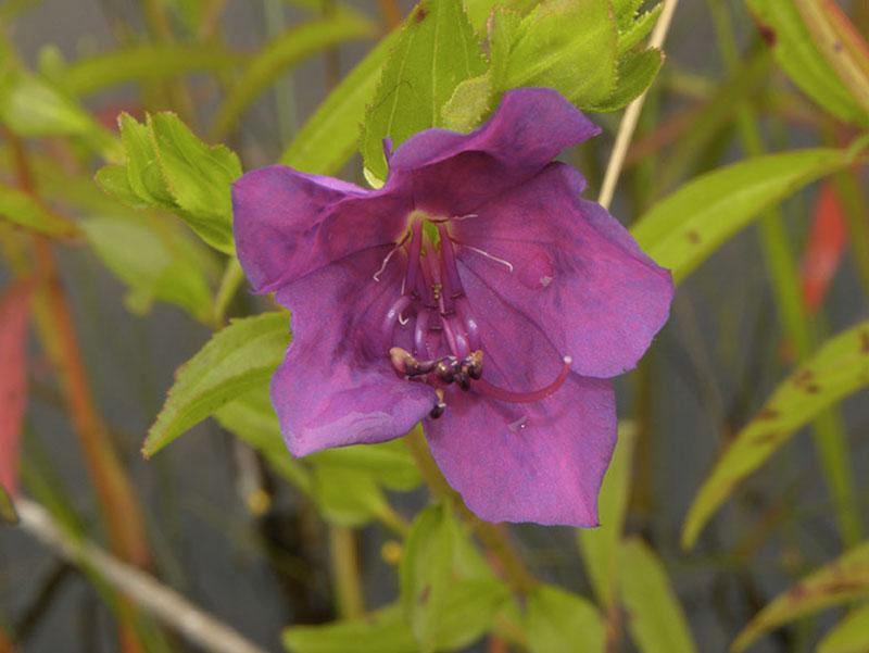 La famille du caca Henriette – Melastomataceae