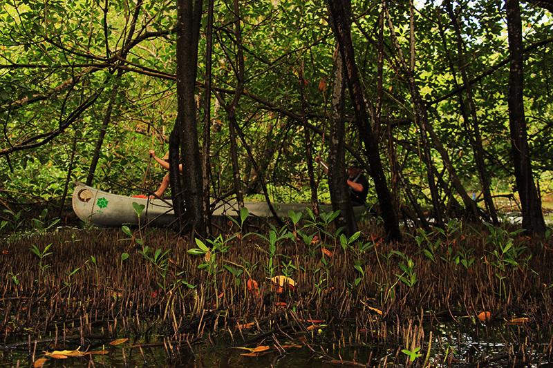Au premier plan on aperçoit les pneumatophores, ces petites racines dressées hors de l'eau qui permettent aux paletuviers de respirer © Sophie Gonzalez