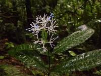 Faramea multiflora, Rubiaceae du sous bois à fleurs bleues © Sophie Gonzalez/IRD
