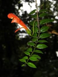 Sophie_Gonzalez_Gesneriaceae,-une-espece-epiphyte-forestiere