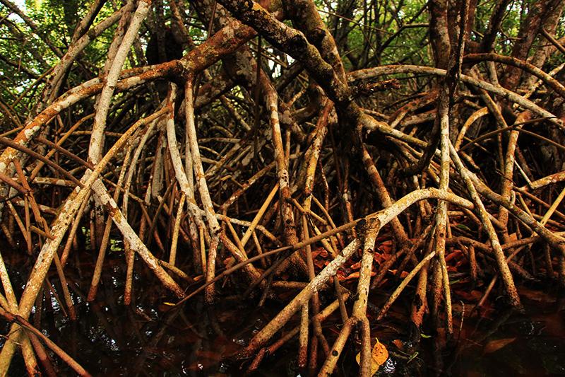 Palétuviers rouges déploient leurs racines en arceaux dans la mangrove © Sophie Gonzalez