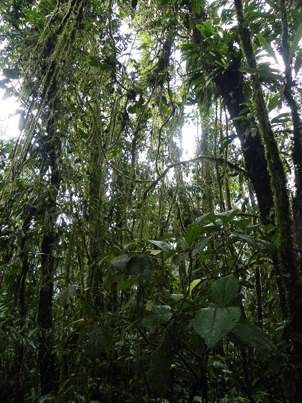 Forêt de lianes, Itoupé  © Sophie Gonzalez